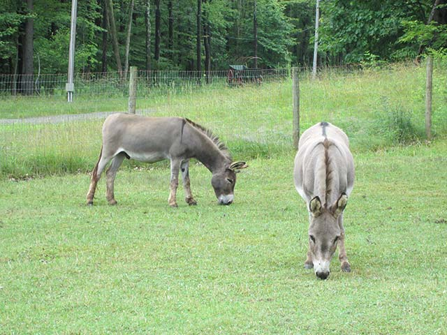 Grazing donkeys at Hiram House Summer Camp